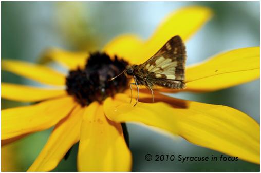 Moth on Black-eyed Susan