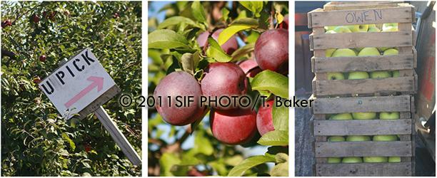 Apple Orchard, Elbridge, NY