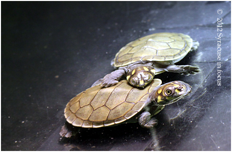 Yellow-Spotted Amazon River Turtles, the newest part of the Rosamond Gifford Zoo family.