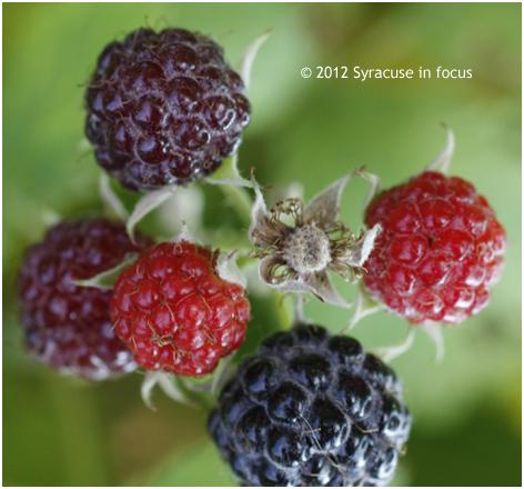 Raspberry (Rubus)
