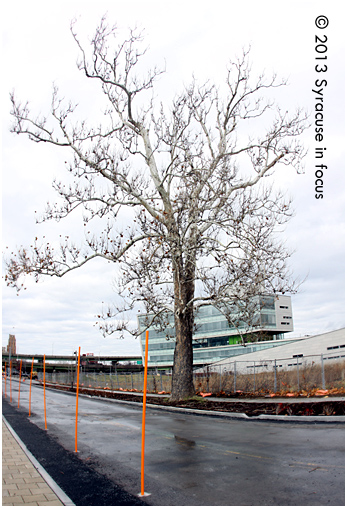 The nearly century-old Sycamore tree stands guard near southern entrance to the Syracuse Center of Excellence property.