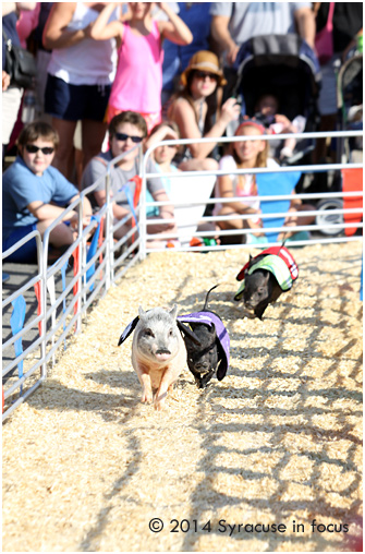 Swifty Swine Racing Pigs: Sports Activity Center, NYS Fair