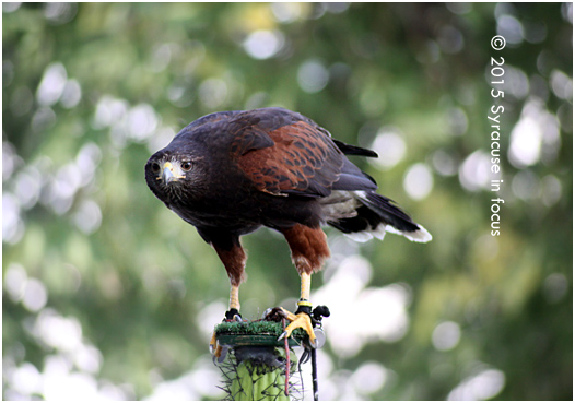 Chase the Harris Hawk